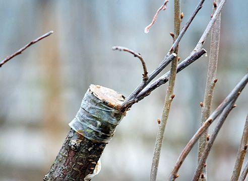 Зимняя прививка плодовых растений - Садоводка