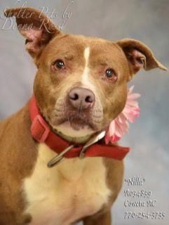 Meet Nila-A034839. Dog for adoption,euthanization,rescue,sponsor at Coweta County Animal Control, GA.