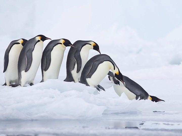 The emperor penguin (Aptenodytes forsteri) is the tallest and heaviest of all living penguin species and is endemic to Antarctica. The male and female are similar in plumage and size reaching 122 cm (48 in) in height and weighing from 22 to 45 kg (49 to 99 lb). The dorsal side and head are black and sharply delineated from the white belly pale-yellow breast and bright-yellow ear patches. Like all penguins it is flightless with a streamlined body and wings stiffened and flattened into…