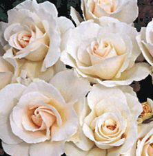 Margaret Merril (Rose). white rose with pink shading and a beautiful perfume. When fully open, displays a center of gold stamens.