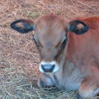 Miniature Jersey Pictures, Mini Jersey Picture, Minijerseys, Mini Jersey Cows for Sale in Missouri, Miniature Jersey Breeder