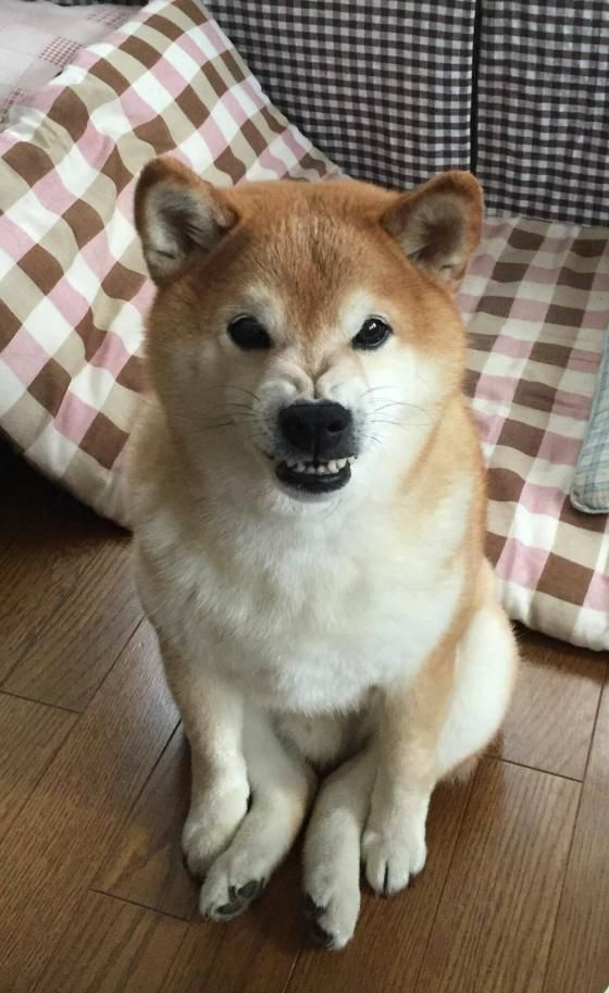 Best Shiba Images On Pinterest Shiba Inu Doge And Dogs - Three shiba inus stick their heads through wall to greet passers by
