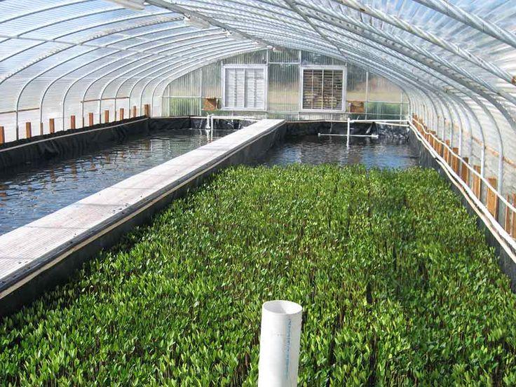 Aquatic Plants Of Florida » Mote to Make Fish Farming Greener Using Saltwater Plants