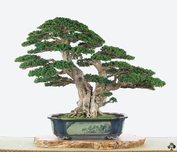 Double trunk bonsai tree by estacao bonsai japan tree for Famous bonsai trees