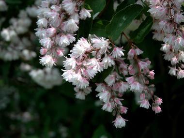 Żylistek szorstki 'Candidissima' - Krzewy liściaste - Baza roślin - rosliny.urzadzamy.pl