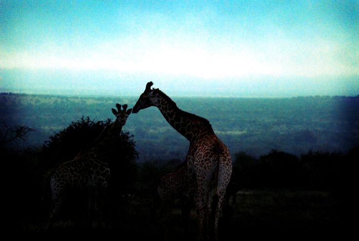 Giraffe on the African plains