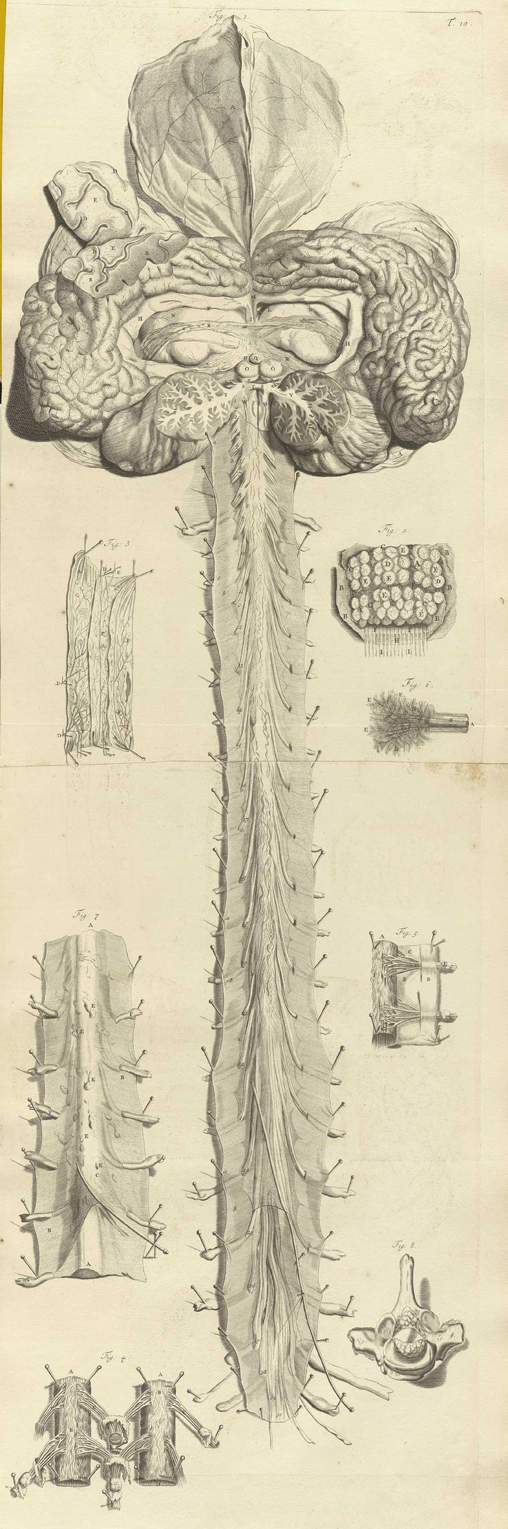 the spinal cord, by Govard Bidloo, from Ontleding des menschelyken lichaams, 1690.