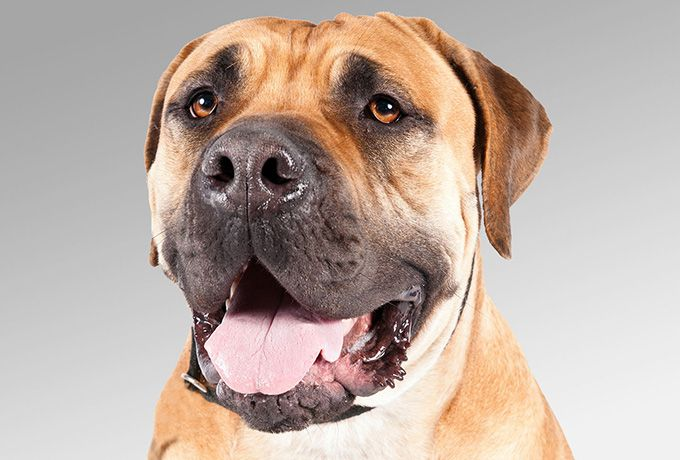 Boerboels are intimidating but discerning guardians of home and family. There's a no-fuss, no-nonsense quality to these sleek-coated avengers, who might stand as high as 27inches.. A broad, blocky head, powerful jaws, and thick muscles from neck to rump mark it as a descendant of the ancient molloser-dog family, the foundation of today's mastiff-type breeds. Pardon the cliché, but the Boerboel moves well for a big guy. It is, in fact, the most nimble-footed  of all mastiff types.