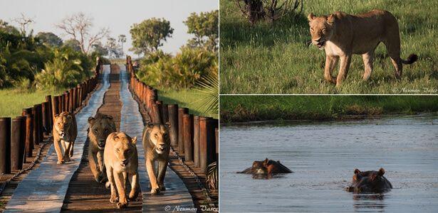 Jao wildlife #Okavango #safari