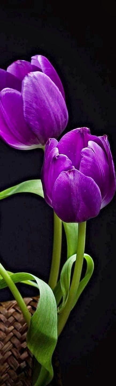 Tulipanes lilas de cerca                                                                                                                                                      Más