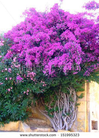 Bougainvillea - stock photo                                                                                                                                                                                 Más