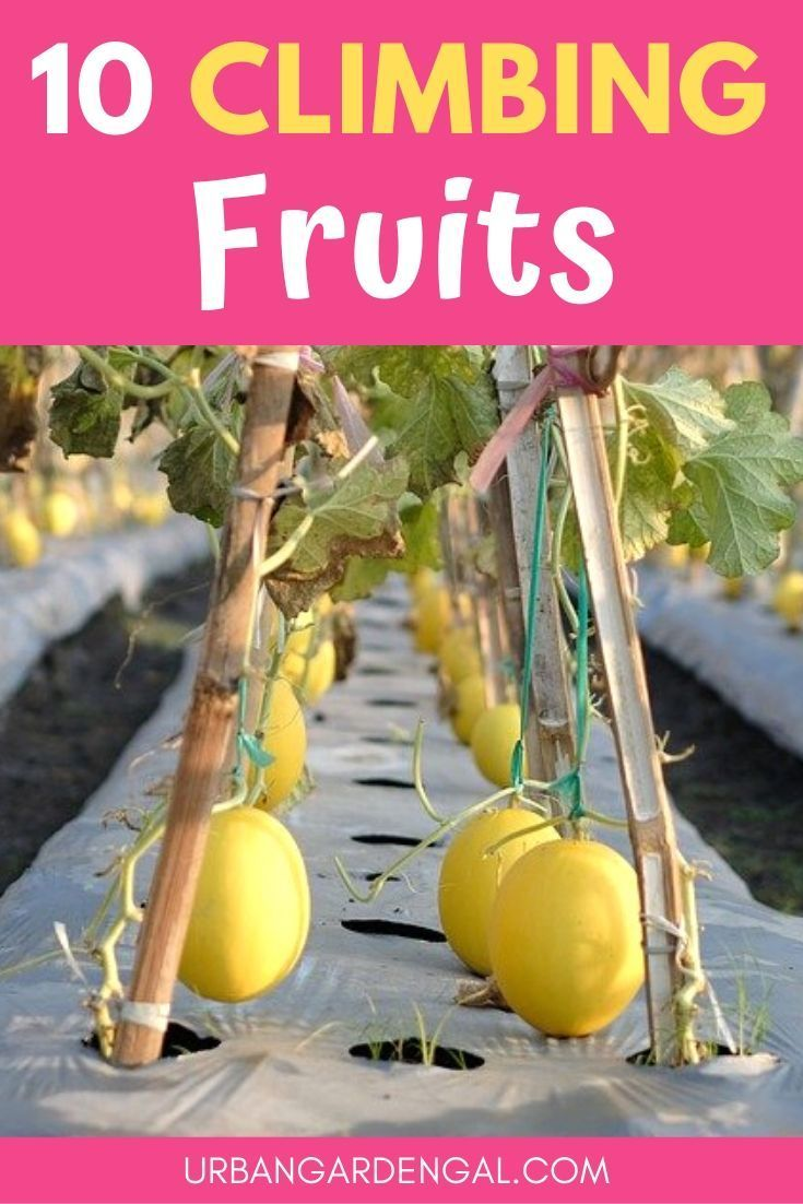 10 Climbing Fruits For Trellises Fruit Plants Fruit Trees In Containers Trellis Plants