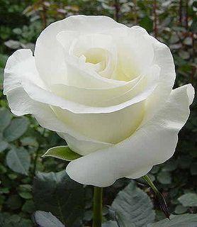 Rosa branca... Pura e cristalina como a água                                                                                                                                                                                 Más