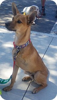 German Pinscher Mix Puppy for adoption in Dallas, Texas - Bucky