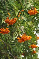 Rönn / Rowan (Sorbus aucuparia) - Although it is a small tree, the rowan or mountain ash has big appeal to the thrush family with its red autumn berries and is a good compact choice for small to medium gardens.