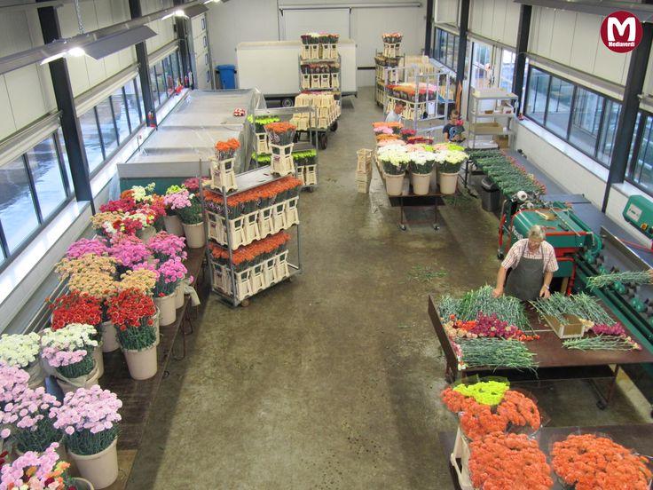Met 3 generaties onze Anjers aan het verwerken / With 3 generations processing our Carnations
