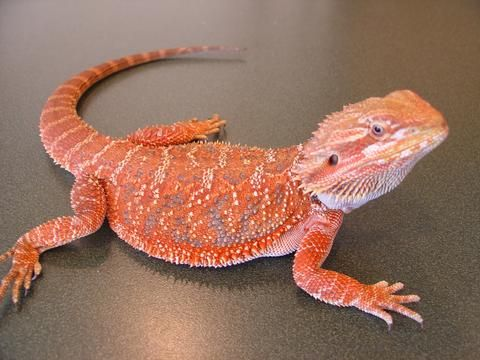 50 bearded dragon names to help you name your new friend!