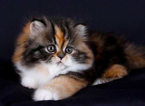 Calico-Chintz-persian-cat-8