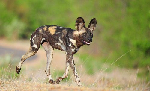 African wild dog in Kruger National Park - on the hunt.