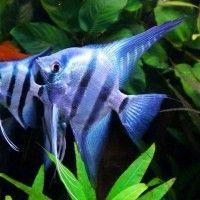 Phillipine Blue silver Skalare Zuchtpaar aus eigener Zucht. Alle Variationen von Blauen Skalaren ( Phillipine Blue) Smokey (rauch) Platinum und natur. Weitere Variationen sind in Vorbereitung.