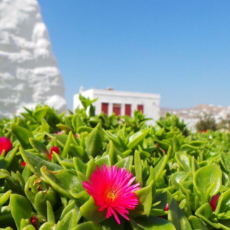 Bright pink flowers in the foreground, Mykonos town.. #mykonos #holiday #architecture #pink #flowers #mykonoslife #visitgreecegr #bluesky #travel #mediterranean