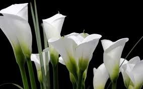 Image result for calla lilies wallpaper different colours