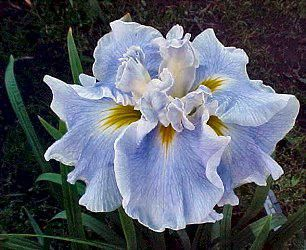 Society for Japanese Iris - Sing the Blues