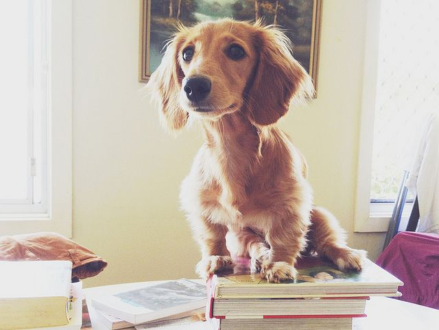 long haired miniature dachshund. They have such pretty faces!