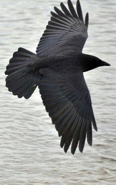 The Magickal Crow!
