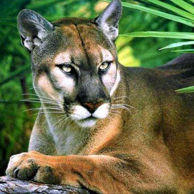 Florida Panther - now becoming endangered due to loss of habitat and a large number of highway deaths.