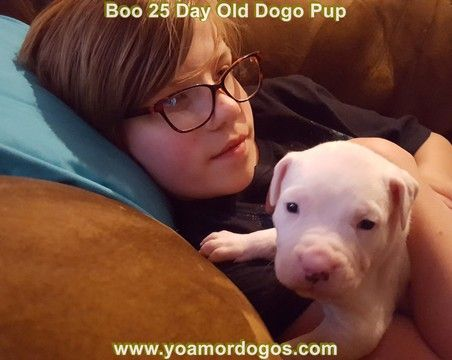 Litter of 5 Dogo Argentino puppies for sale in PINEVILLE, MO. ADN-50257 on PuppyFinder.com Gender: Female. Age: 4 Weeks Old