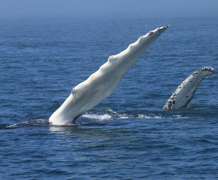 Baleines garanties ou excursion gratuite! Excursions en bateau à la rencontre des baleines et des oiseaux de la baie; une expérience inoubliable. | Nouveau Brunswick, vacances au Canada | Photo: Durlan Ingersoll of Sea Watch Tours. #ExploreNB