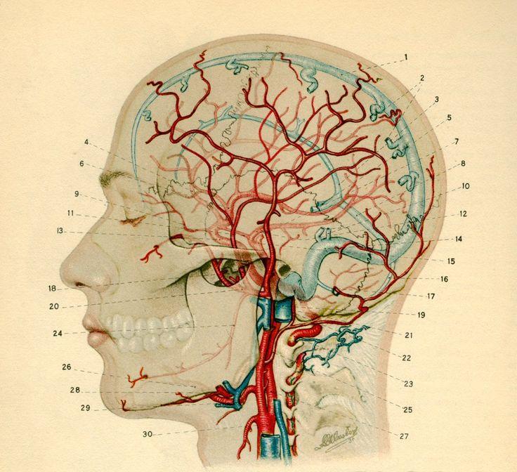 133 besten Anatomy illustation Bilder auf Pinterest | Menschliche ...
