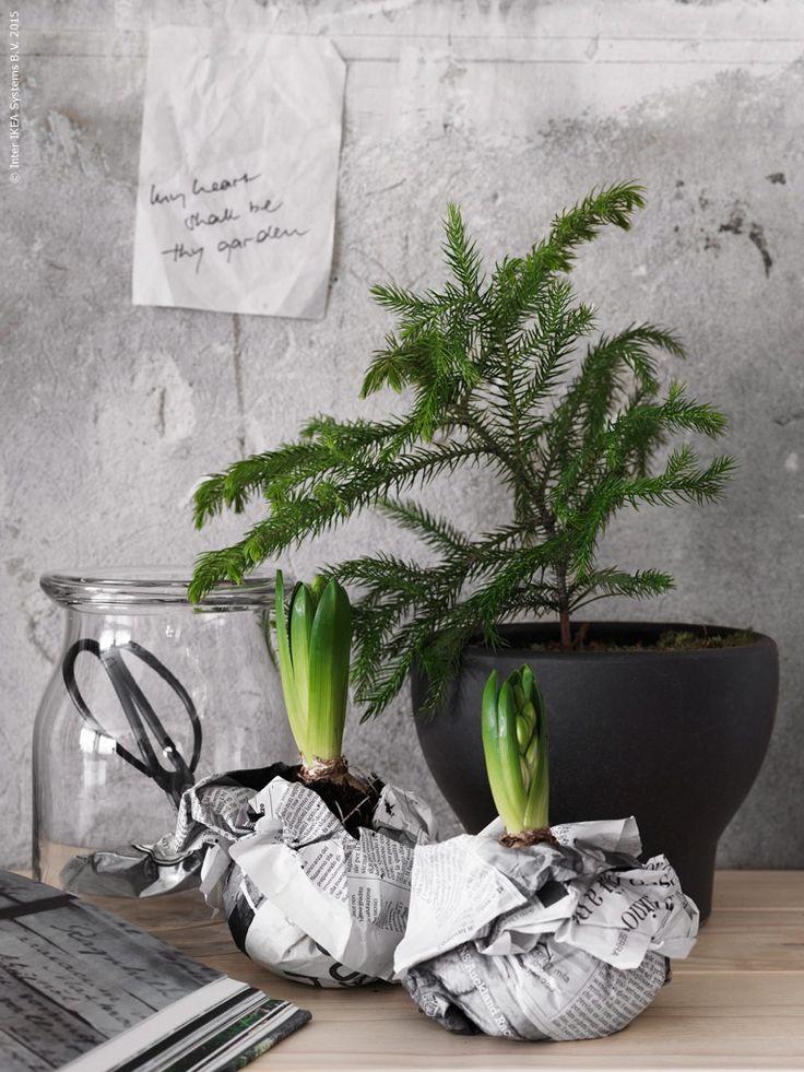 Gör ett enkelt grönt stillben med en sirlig tall i kruka och hyacintlökar invirade i tidningspapper. Glasvas BEGÄRLIG, SINNERLIG kruka, HYACINTHUS lök.