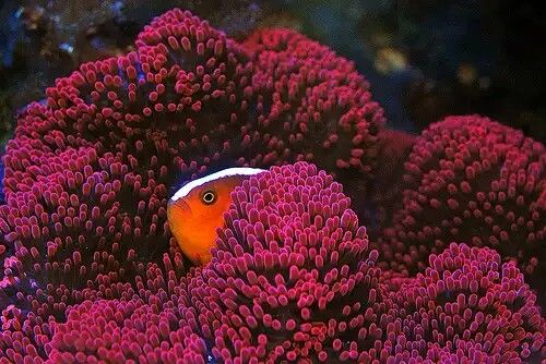 17 Best images about black ice Clownfish on Pinterest ...