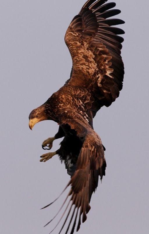 White-tailed sea eagle(Haliaeetus albicilla)オジロワシ