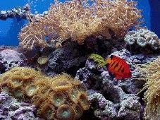 Xenia Coral Profile