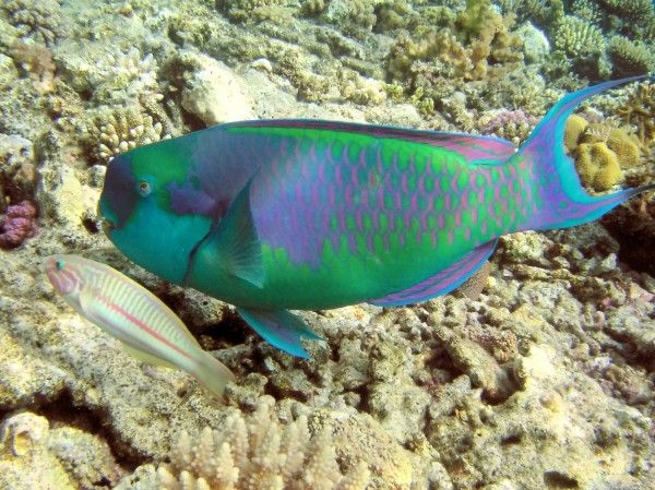 Os 10 Peixes mais bonitos do Mundo - Peixe Papagaio Arco-Íris