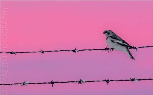 Beautiful Snow Bunting bird against the colorful winter sky - by Saskatchewan Wildlife Photographer Donna Jordan - Appropriately named, the Snow Bunting is a bird of the high Arctic and snowy winter fields across Canada. Even on a warm day, the mostly white plumage of a bunting flock evokes the image of a snowstorm.  You too can take part in creating Canada's largest #SocialTravel interactive website with photos and content. Join for free and start posting today!