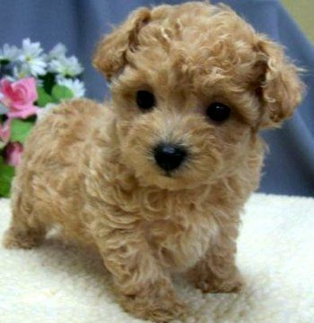 maltipoo; teacup toy poodle puppy