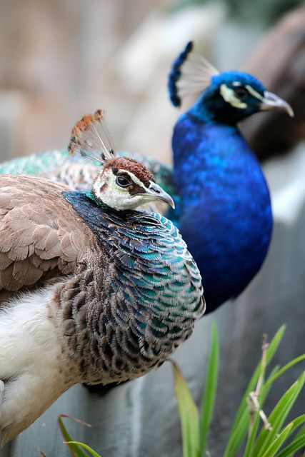 male and female peacocks wings | Male and Female Peacock