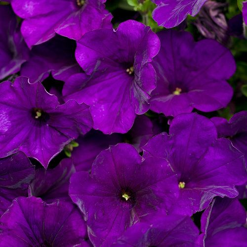 13 best 39 super 39 plants images on pinterest annual for Can you get purple roses