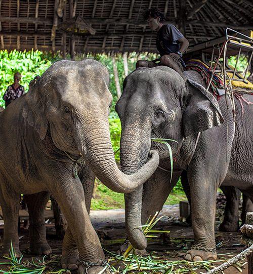 Elephant Trekking in Phuket, Kok Chang Elephant Safari, Kata Phuket Thailand