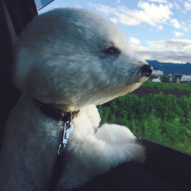 . . 今日も外の景色を楽しむルーちゃん♡ なんだか凛々しい♡ . . #dog#dogs#bichon#bichonfrise#luke#drive#犬#愛犬#多頭飼い#ドライブ#ビション#ビションフリーゼ