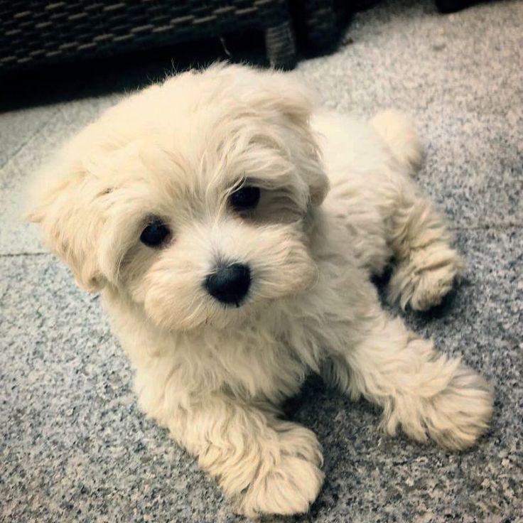 Puppies Cavapoo Puppies
