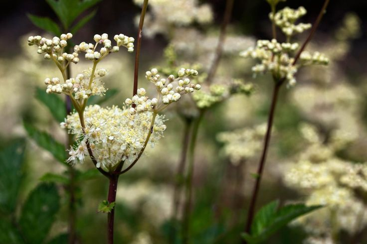 Meadowsweet simillar to verburnum flowers.