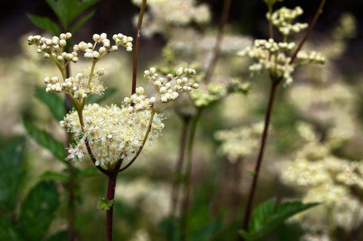 Meadowsweet simillar to verburnum flowers.