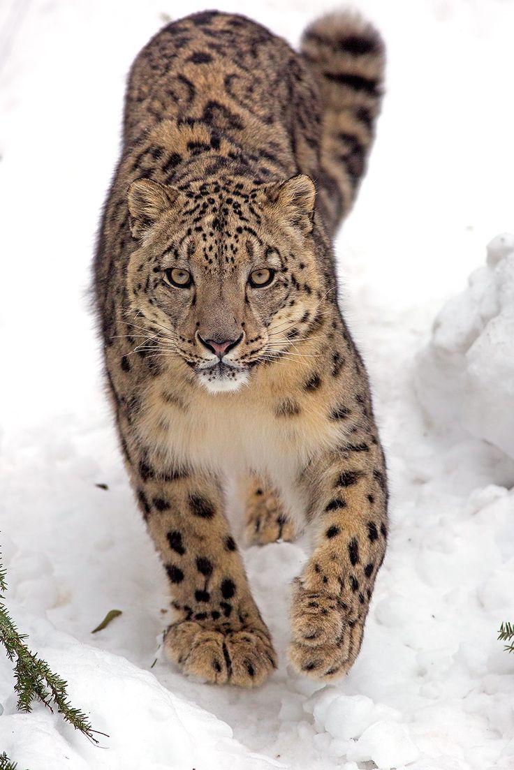 "beautiful-wildlife: ""Snow Stroll by © JH Atala """