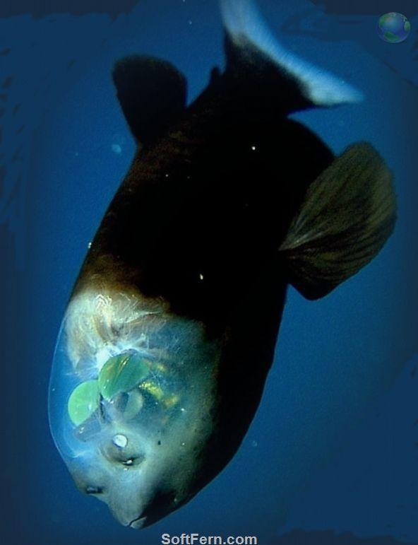 Fass Auge Fisch Acropinna Microstoma Der Kopf Ist Transparent Erlaubt Auf Zu Schauen Und Durch Das Das Top Zu Sehen Ein Tiefseefisch In 2020 Tiefsee Wesen Ozean Kreaturen Tiefseefische