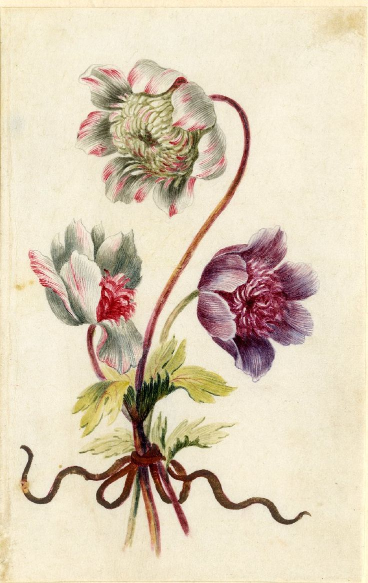 Drawing from an album, white and crimson, and purple Anemones, tied with dull red ribbon. Watercolour over metalpoint, heightened with white, on vellum. From Alexander Marshal's Florilegium.